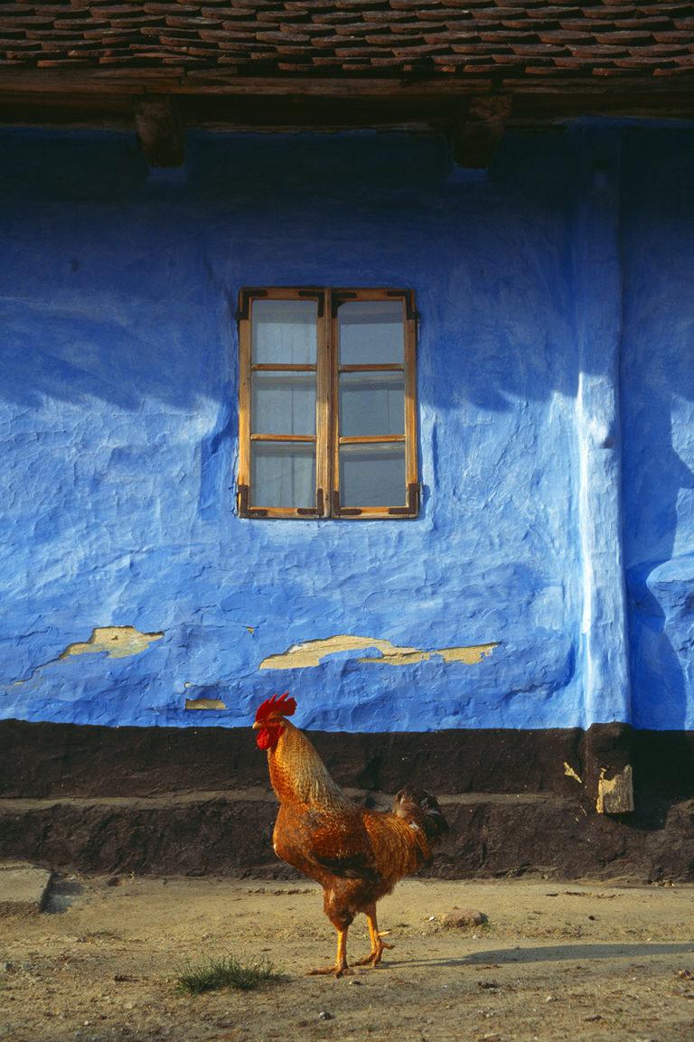 Croatian windows, analog photography, rooster